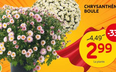 Profitez de notre offre sur les chrysanthèmes boules